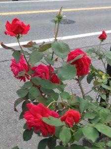 伊那ワイン工房 薔薇とカエル